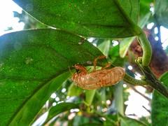 Bug (panoskaralis) Tags: bugs insect nature trees orangetree green island macro outdoor lesbian lesbos lesvosisland lesvos mytilene greece greek hellas hellenic