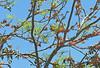 a Noisy Friarbird feeding on Black Bean flowers (Xylopia) Tags: friarbird noisyfriarbird philemon philemoncorniculatus castanospermum castanospermumaustrale blackbean fabaceae arfp qrfp arfflowers redarfflowers yellowarfflowers tropicalarf uplandarf lowlandarf