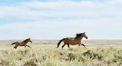 Mustang (prairiegirrl) Tags: wild horses mustang freedom wildlife wyoming stewartcreek hma