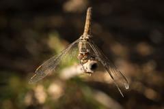 Autumn dragonfly (szhorvat) Tags: macro insect dragonfly autumn camargue compoundeye orthetrumcoerulescens keeledskimmer kékpásztor orthétrumbleuissant perching