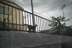 The cat worrying about the weather by mokuu - 福岡県北九州市八幡西区萩原 / LEICA M8 × G-Rokkor 28mm F3.5 / CP C8 11 014 / mokuu.cc/2017/08/post-288.html