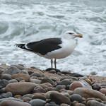 Seagull - Montauk thumbnail