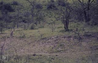 2 cheetah in broken woodland country. Ndutu