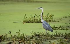 Blue and Green (swmartz) Tags: october outdoors wildlife 2017 nikon nature newjersey mercercounty trentonmarsh trenton hamilton