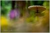 Macrolepiota procera (Giovanni Antonio Scopoli / Rolf Singer, 1948) (Alessandro Laporta Photographer) Tags: puppola bubbolamaggiore ombrellone parasole macrolepiotaprocera mazzaditamburo paloma gemeinerriesenschirmling parasol riesenschirmpilz parasolmushroom lépioteélevée coulemelle velikasunčanica orjaškidežnik 高大環柄菇 boletdelfrare camaseques capelldelsenyor coloma cogomella cogombre farinosa maneta pamperol pampinella pimpinellafarinosa paraigua paraigües potadase senyaldalzina alessandrolaporta laportaalessandro laporta fotocesco alessandrolaportaphotographer alessandrolaportaphotography