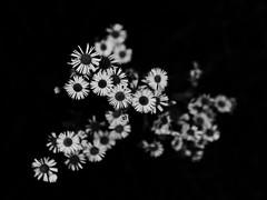 late bloom (series) (Neko! Neko! Neko!) Tags: blackandwhite blackwhite bw mono monochrome autumn flowers mood emotion feeling atmosphere