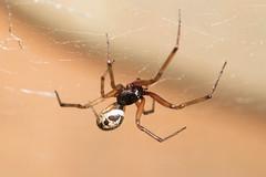 Arachtober 05 - Steatoda nobilis (Anne Richardson) Tags: arachnid spider wildlife steatoda nobilis steatodanobilis nature macro macrophotography flash nightime arachtober sigma150mm falsewidow 8legs