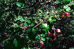 N20171005-0001—Prunus ilicifolia—RPBG—DxO (John Rusk) Tags: dxofujivelvia50preset dxofilmpack ebparksok shrub taxonomy:kingdom=plantae plantae taxonomy:subkingdom=tracheophyta tracheophyta taxonomy:phylum=magnoliophyta magnoliophyta taxonomy:class=magnoliopsida magnoliopsida taxonomy:order=rosales rosales taxonomy:family=rosaceae rosaceae taxonomy:genus=prunus prunus taxonomy:species=ilicifolia taxonomy:binomial=prunusilicifolia prunusilicifolia hollyleafcherry taxonomy:common=hollyleafcherry