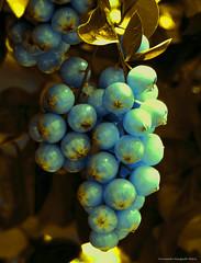 brillos... (ojoadicto) Tags: artisticphotography color nature naturaleza fruto hojas leaves gold dorado azul blue