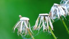 Fall weed fuzz (Hayseed52) Tags: weeds fall green art nature garden