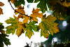 Leaves of Change (jsnmckenzie) Tags: vancouverisland outdoors bokeh nikon55300 d7200 nikon fourseasons fall mapleleaf yellow green orange red colors colour britishcolumbia bc sookebc sookeriver sooke october