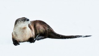 North American River Otter in Yellowstone
