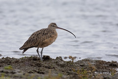 long-billed curlew crescent beach Surrey bc (lee barlow) Tags: nikon200500 shorebirds leebarlow birdsofcanada ngc numeniusamericanus britishcolumbia birdsofnorthamerica nikon birdsofbritishcolumbia canada crescentbeach longbilledcurlew d7200 surreybc