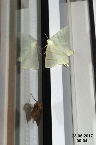 Swallow-tailed moth and friend (sw)