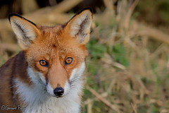 Fox (geraintparry) Tags: nikond500 d3200 nikon sigma 150600 sigma150600 outdoor naturephotography geraint parry geraintparry fox foxes redfox british wildlife centre bwc surrey lingfield mammal mammals