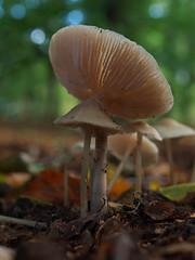 Mycena - 35mm macro (Visual Stripes) Tags: fungi fungus forest nature autumn macro 35mmmacro olympus panasoniclumixg1