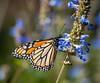 Monarch butterfly (julesnene) Tags: california canon5dmarkiv canonef70200mmf4lusmlens juliasumangil sage autumn backyard butterfly fall garden julesnene monarchbutterfly salvia