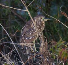 Green Heron (SchwanSongs) Tags: green heron butorides virescens birds nature lake hodges tamron canon schwansongs