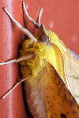 Tiny Canary, pt. 5 - _TNY_0625 (Calle Söderberg) Tags: macro canon canon5dmkii canoneos5dmarkii canonef100mmf28usmmacro insect butterfly mätare alflikmätare thorn canary canaryshoulderedthorn ennomos alnaria yellow antennae fuzzy fuzz fur furry hair hairy geometridae ennomini moth raynox dcr250 f22