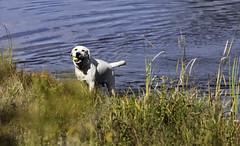 The Retriever (RB Smith ~ Freelance Photographer) Tags: retriever dog fetch water pond grass weeds enjoyment outdoor nature beauty beautiful