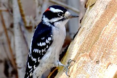 Male Downy Woodpecker (Joseph Hollick) Tags: downywoodpecker bird woodpecker dundas dryobatespubescens