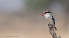Striped kingfisher in Tanzania (Raymond J Barlow) Tags: africa tanzania kingfisher nature wildlife raymondbarlow workshops tours