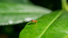 Tiny worlds (ozkantayfun) Tags: macro bug ant leaf green nature