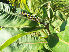 Monarch Danaus plexippus (Super Nature Lover) Tags: monarchdanausplexippus mbp