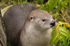 North American River Otter (Jon David Nelson) Tags: northamericanriverotter lontracanadensis wildlife centraloregon highdesert bendoregon conservation education