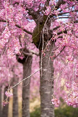 Springtime On The Cherry Blossom Terrace || EVERGLADES || LEURA (rhyspope) Tags: australia aussie nsw new south wales canon 5d mkii leura blue mountains everglades cherry blossom tree plant flower floral blossoms rhys pope rhyspope pink katoomba