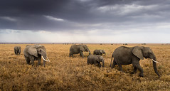 They move on like the clouds do (Beppe Rijs) Tags: africa afrika elefant serengeti tansania tanzania elephant move clouds herd animal plain water waterhole wildlife landscape nature np nationalpark paradise day end tier gras himmel feld landschaft