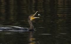 Cormorant - Juggling fish (Ann and Chris) Tags: rutlandwater wildlife wild feathers fishing feeding fish cormorant river beak nature avian