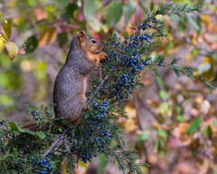 Perfect Pose... (ragtops2000) Tags: squirrel tree cedar berries autumn standing pose perfect lunch light catch colorful sharp tack beautiful
