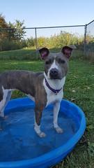 Cecilia (DDA1) Tags: saveapetilorg adoption adoptionshelter adoptioncenter adoptable adopt amstaff pitbullmix pitbull dog outdoor dogears