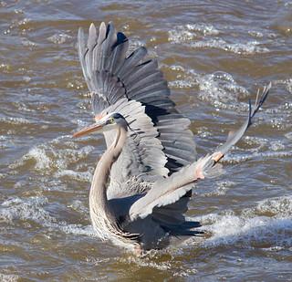 IMG_4478 Great Blue Heron