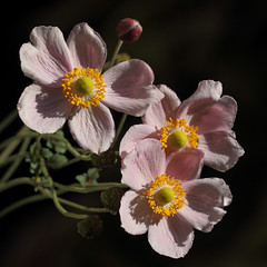 And They Are Still Doing Well (AnyMotion) Tags: japaneseanemone herbstanemone anemonejaponica blossom blüte autumnsunshine herbstlicht 2017 plants pflanzen anymotion nature natur blumen floral flowers frankfurt 7d2 canoneos7dmarkii garden garten colors colours farben pink rosa green grün yellow gelb autumn fall herbst automne otoño square 1600x1600 ngc npc