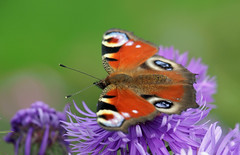 autumn butterfly (explored) (Simple_Sight) Tags: peacock butterfly aster flower fall autumn herbst garden outdoors macro ngc npc