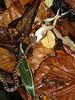 Juvenile Taiwan habu consuming tree frog (wattanumpty) Tags: taiwanhabu protobothropsmucrosquamatus taiwan taiwansnake snakeeating snakeeatingfrog
