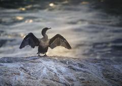 Tadasana ala Cormorant (jm atkinson) Tags: cormorant maine pemaquid point seabird pemaquidpoint atlantic joanmatkinson d600 7dwf fauna