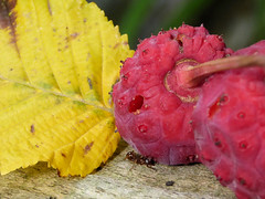 Herbst (Gertrud K.) Tags: fall yellow pink leaves fruits ant macro