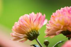 zarte Blütenträume 01 (p.schmal) Tags: hamburg farmsenberne blütenmakros