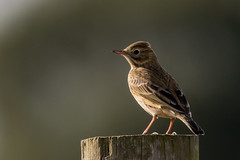 meadow pipit (colin 1957) Tags: meadowpippit pippit cavenhamheath