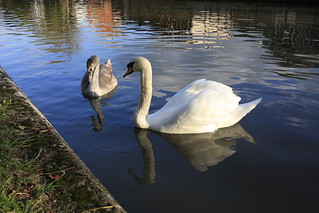 Swan and Cygnet (43/52)