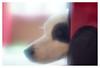 Brody, softly (leo.roos) Tags: brody dog pet bordercollie hond incandescent a99 mamiyasekor645sfc1454 softfocus mamiya1454softfocus mamiya645 mf mediumformat dreamy darosa leoroos dayprime day145 dayprime2017 dyxum challenge prime primes lens lenses lenzen brandpuntsafstand focallength fl
