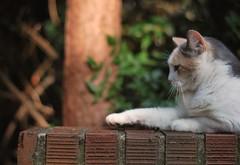 Gracie Jo's hovering paw (rootcrop54) Tags: camille dilute calico female neighbor neighbors friend neko macska kedi 猫 kočka kissa γάτα köttur kucing gatto 고양이 kaķis katė katt katze katzen kot кошка mačka gatos maček kitteh chat ネコ