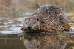 Face to Face with a Beaver (Amy Hudechek Photography) Tags: beaver wildlife nature water autumn gtnp grand teton national park snake river amyhudechek nikond500 nikon 600mm f4 reflection