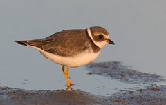 Semi-Palmated Plover first light. (mandokid1) Tags: canon ef400mmdoii 1dx birds