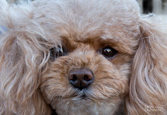 Carmel Poodle Parade 2017 (Don Dunning) Tags: animals california carmel carmelpoodleparade carmelbythesea dogs mammals poodles unitedstates us