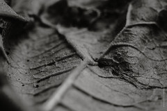 leaf 2 (imagomagia) Tags: naturallight xe1 closeup nikkor105 leaf natur light macro naturperfection noiretblancphotographie flowersplants blackandwhite blackandwhitephotography bnw nature monochrome
