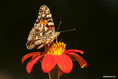 American Painted Lady Butterfly (Jeff Wignall) Tags: butterfly paintedlady americanpaintedlady butterlies tithonia migration orange orangeflower mexicansunflower wignall connecticut insects wings
